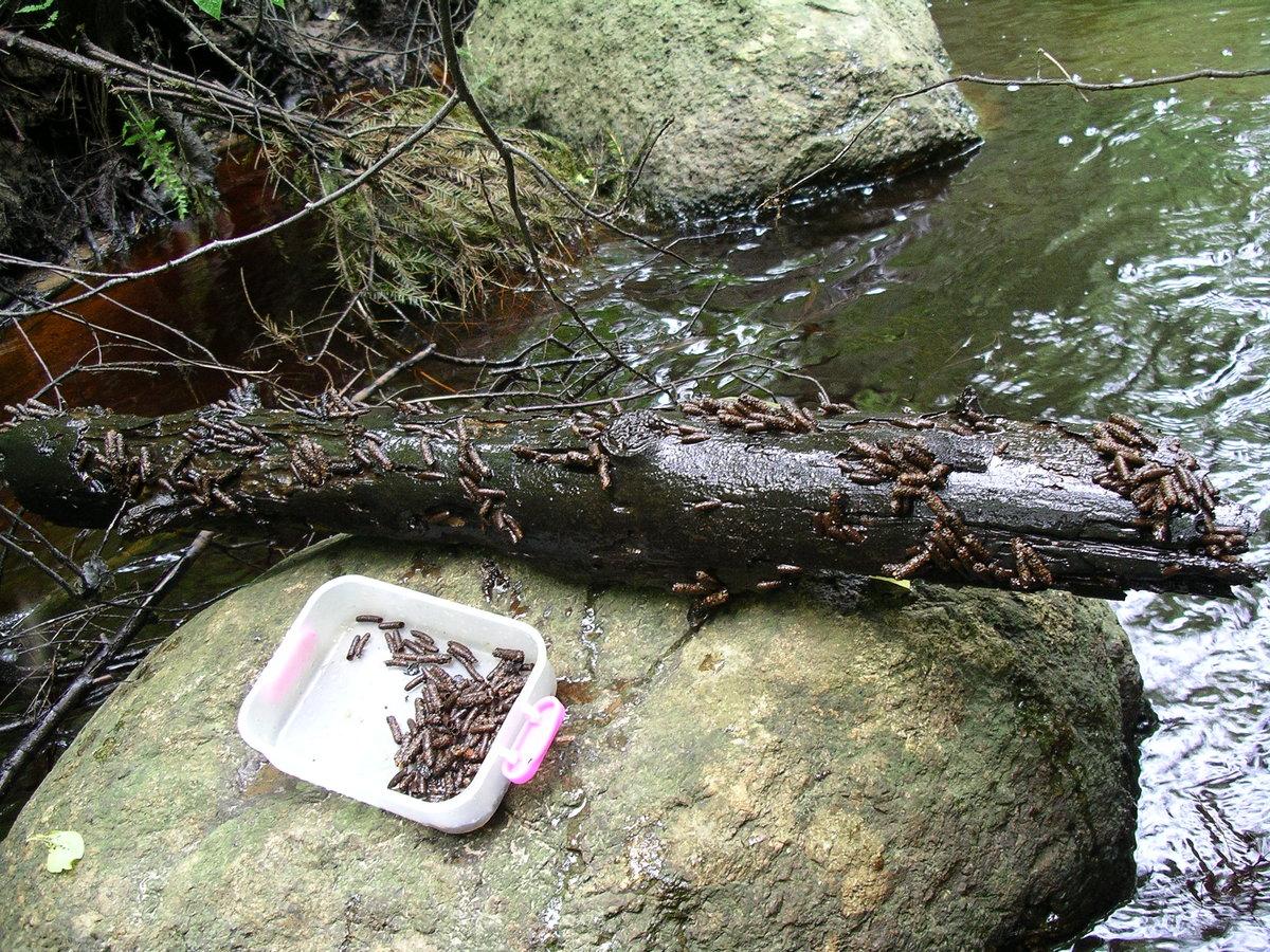 Ловля рыбы на ручейника зимой
